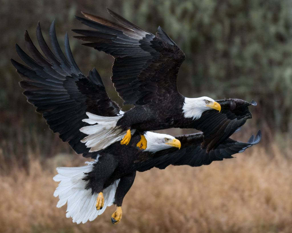 skagit bald eagles