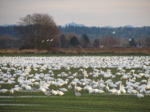 birdwatching-skagit