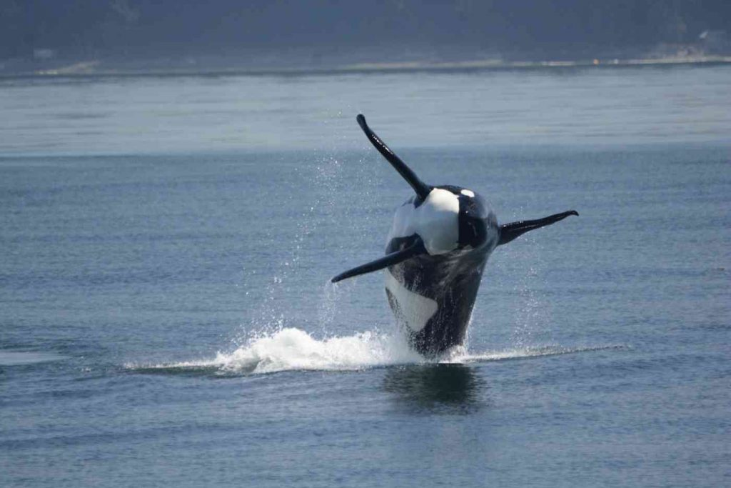 orcas_killer_whales_watching